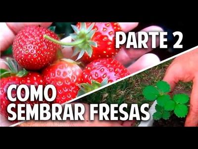 Cultivo de fresas - Parte 2 -  Cuándo y Cómo transplantar @cosasdeljardin
