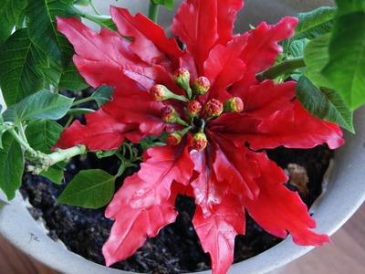 2da parte Como hacer Poinsettia fantasia roja en porcelana fria (manualidades de navidad)