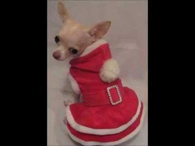 Perro-dog-pincher-chihuahua-miniatura-mexico-colombia.