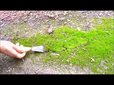 Cómo conseguir musgo natural para el Belén