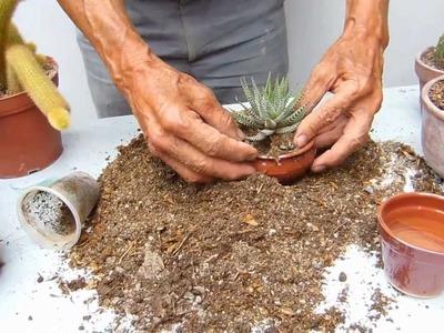 Preparación tierra de cactus