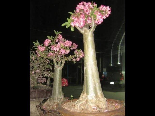 Raízes das rosas do deserto Técnica Anaconda #01 - como alongar Plante Rosa do Deserto Adenium