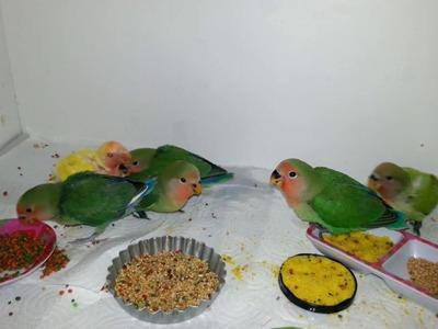 Pollitos Agapornis Papilleros comiendo algo más que papilla. VIDEO # 2
