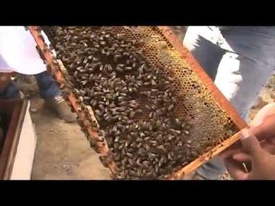 Leccion de apicultura: zona de fecundacion de abejas reinas