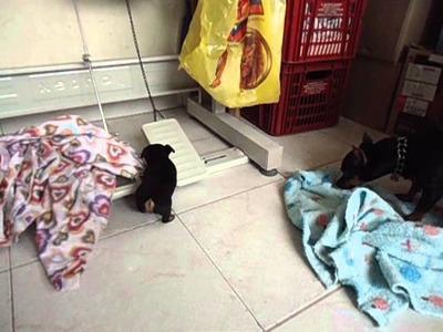 Se venden perros pincher de un mes de nacidos INF: 313 4627469