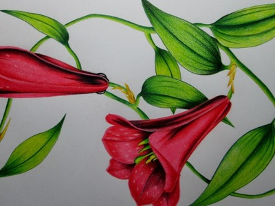 Cómo dibujar una flor con lápices de colores paso a paso, dibujando un Copihue Realista