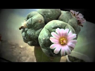 Peyote flower