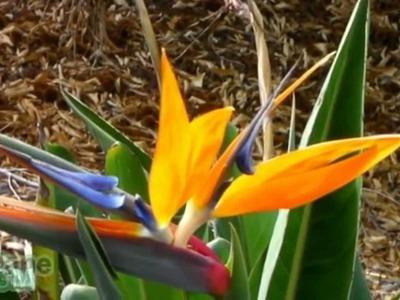 Flor Ave del Paraíso - Strelitzia reginae