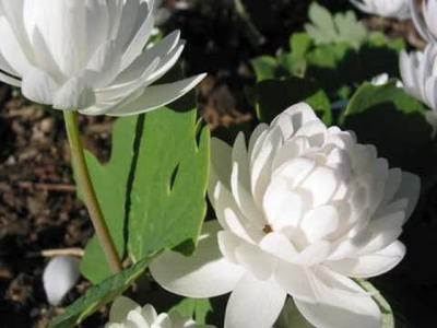LEOPOLDO GONZALEZ - Flor Roja Y Flor Blanca