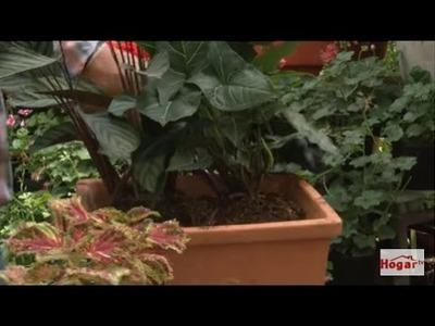 Como Sembrar en una Maseta y hacer Diseños con Plantas de Follaje - Hogar Tv  por Juan Gonzalo Angel