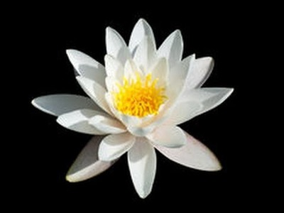 Còmo Hacer una Flor Lotus con Papel de Arroz- Hogar Tv  por Juan Gonzalo Angel