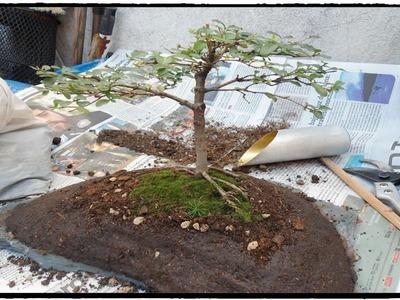Aprende a trasplantar un Bonsai sobre una piedra paso a paso (MUY FÁCIL)