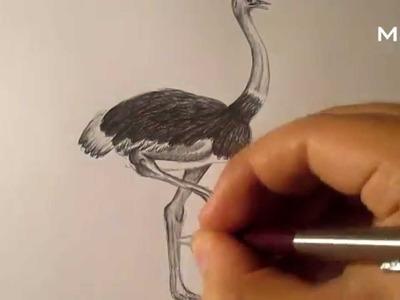 Cómo dibujar una avestruz a lápiz, cómo dibujar aves HD