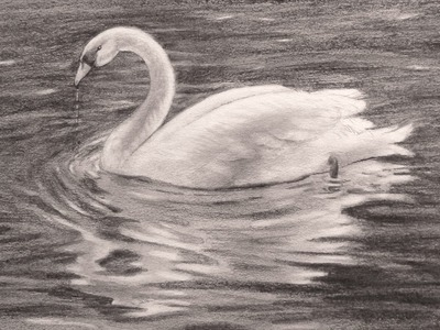 Dibujando animales: Cómo dibujar un cisne- Arte Divierte.